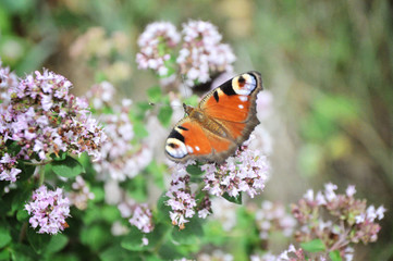 peacock butterfly eye pollinating blooming thyme