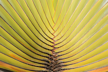 Ravenala palm tree pattern closeup -  traveler tree , natural pattern