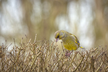 European greenfinch on a hedge in the fall