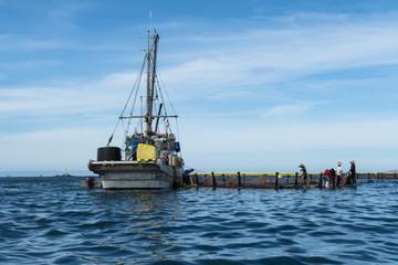 Los trabajadores del barco pesquero trabajan en los criaderos de atún.