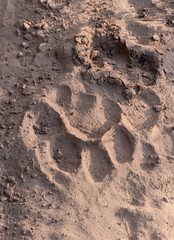 Tiger trail on the sand