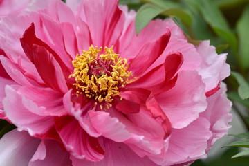 二色の牡丹の花