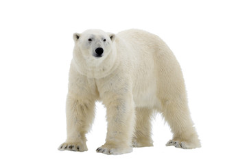 Poster Ours Blanc Polar Bear isolated on the white background