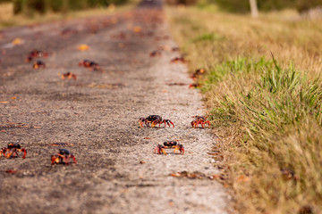 Red Migrating crab Cuba Gecarcinus ruricola on the road