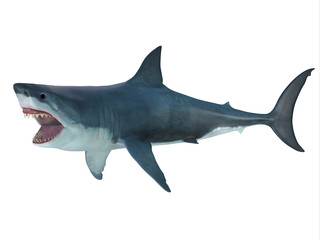 Megalodon Shark Attack Posture - The prehistoric Megalodon shark could grow to be 82 feet in length and lived during the Miocene to the Pliocene Periods.