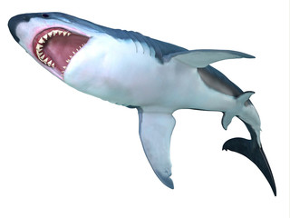 Megalodon Shark Underbelly - The prehistoric Megalodon shark could grow to be 82 feet in length and lived during the Miocene to the Pliocene Periods.