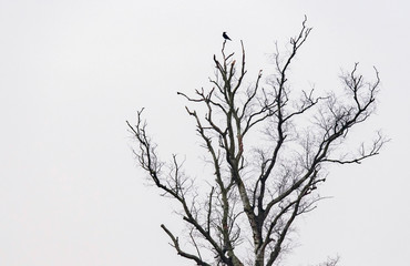 Silhouette of crow in bare winter tree.