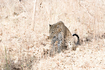 a leopard waiting for a kill
