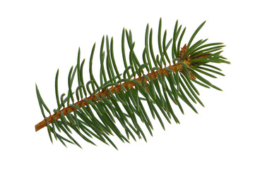 Spruce twigs. Branch of christmas tree isolated on white background without a shadow . Fresh coniferous branches.close-up.