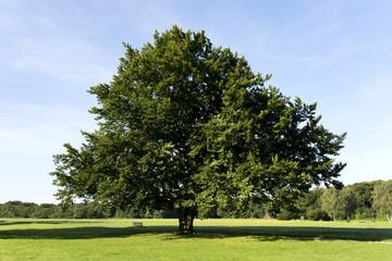 Baum, Buche, Sommer