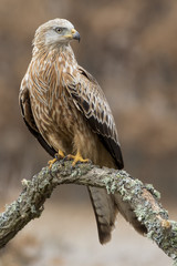 Red kite (Milvus milvus) perched on an oak trunk