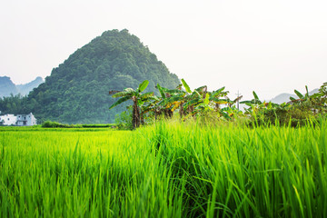 Asian rice field with karst rocks in Guangxi China