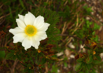 A blossom of windflower