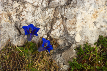 Two blossoms of gentian
