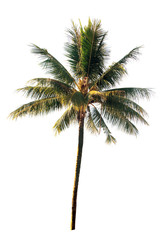 Coconut tree on white background (isolated on white and clipping path)