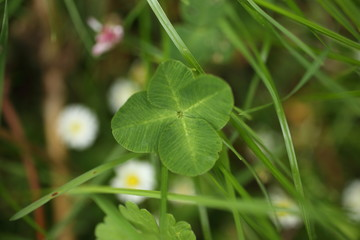 Close-up of Four-leaf Water Clover or Clover Fern,