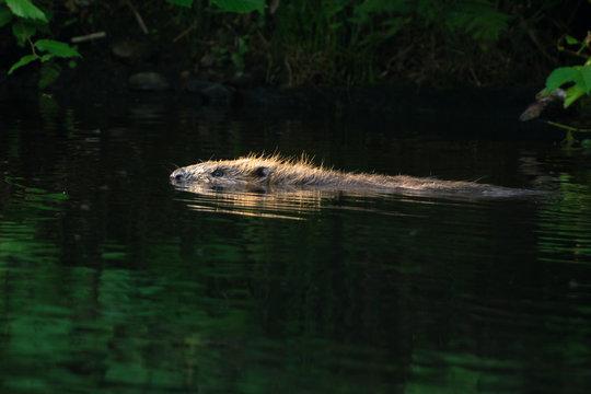 Beaver on a creek in Sweden