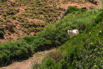 Free wild white horse in cycladic island of Kythnos in Greece