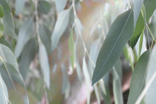 Eucalyptus leaves back in the garden