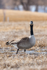 Goose looking at me