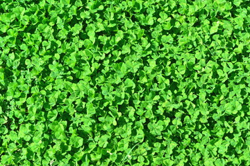 Green background from green clover leaf