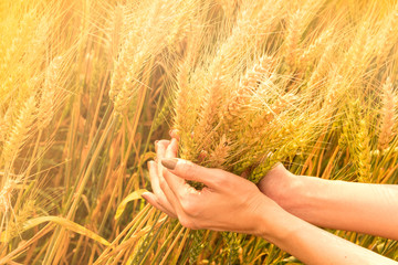 Hands are selecting a field of golden wheat.