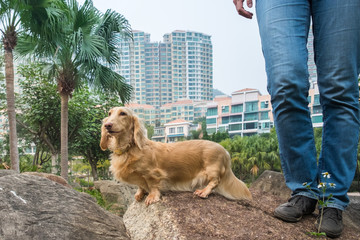 Small cute long coat beige Dachshund dog walking in park with owner. Blurred buildings on background.
