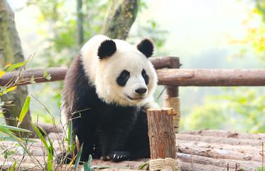 Giant Panda curiously looking around, Chengdu, Szechuan, China