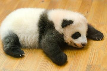 Giant Panda Cub Baby on the Nursery Floor, Chengdu, China