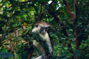 Portrait monkey red colobus dense tropical forest
