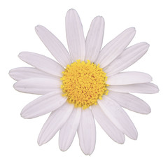 white daisy isolated on white background with Clipping Path
