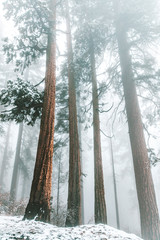 View of tall trees during foggy weather