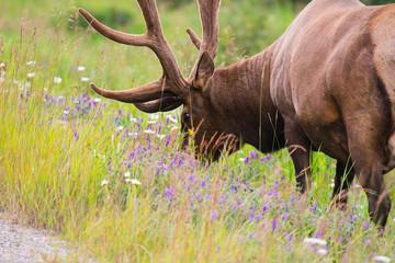 Wild Antlered bull Elk or Wapiti (Cervus canadensis) grazing in the wildgrass and wildflowers, Banff National Park Alberta Canada
