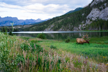 Elk bull with a beautiful blue lake in the background. Banff national park, Alberta, Canada.