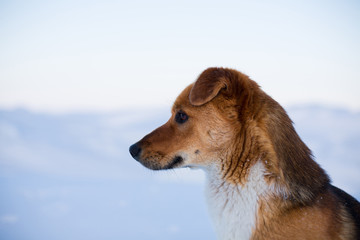 Close-up portrait of lovely mongrel dog. Profile portrait of beautiful red non pedigreed dog is on the snow background