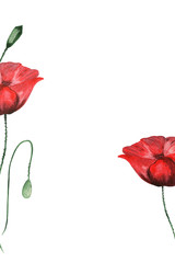 Red poppies on white isolated background. Drawing hands of watercolors.