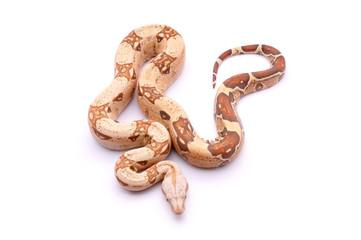 Boa constrictor imperator Albinos VPI T+