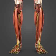 Leg Muscles with Nerves