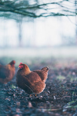 Brown chicken in misty dirt field.