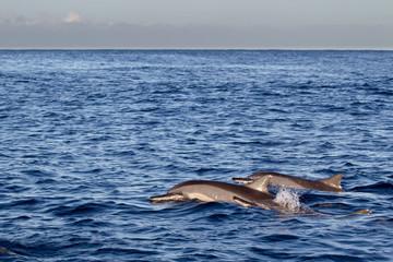 Spinnerdelfine (Stenella longirostris) schwimmen im Meer vor Mauritius, Afrika.