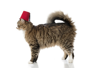 Norwegian forest cat wearing fez isolated on white background.