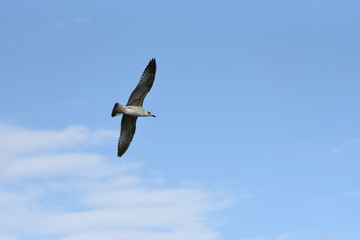 The seagull flies its wings wide against the blue sky with clouds