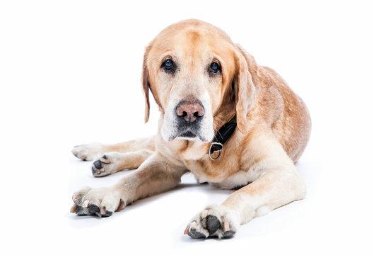 Old golden retriever dog watching in white studio.