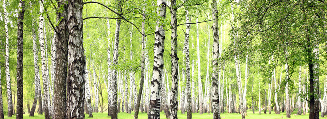 Foto auf Acrylglas Wald Beautiful landscape with white birches. Birch trees in bright sunshine. Birch grove in autumn. The trunks of birch trees with white bark. Birch trees trunks. Beautiful panorama.