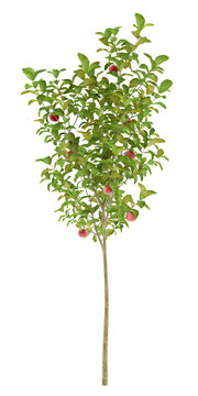 apple tree with red apples isolated on white background