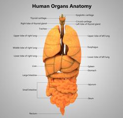 Human Body Organs label design Anatomy