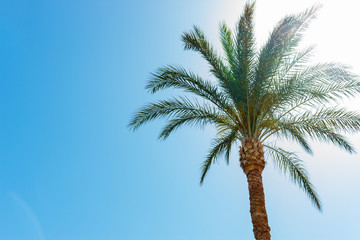One palm tree on blue sky background on sunny day without clouds