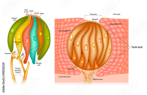 Taste bud structure in the human tongue. Taste receptor cells\