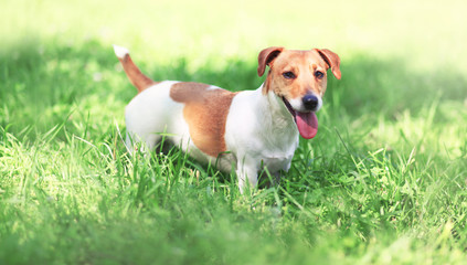 Jack Russell Terrier dog on the spring grass on a sunny day