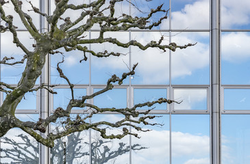 Plane-tree branches without leaves in front of the windows of an office building